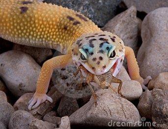 leopard-gecko-eating-cricket-4269335